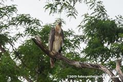 White-bellied Sea Eagle (Haliaeetus leucogaster), juvenile DSC_0764 (fotosynthesys) Tags: whitebelliedseaeagle haliaeetusleucogaster seaeagle eagle accipitridae raptor bird srilanka