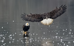 Incoming! #1  (in Explore, 17/02/2019) (ChasingNature) Tags: baldeagles river feathers
