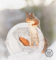 Red squirrel holding a acorn with ice (Geert Weggen) Tags: squirrel red animal backgrounds bright cheerful close color concepts conservation culinary cute damage day earth environment environmental equipment love valentine flower winter snow photo acorn nut food bispgården jämtland sweden geert weggen hardeko ragunda