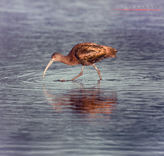 White-Faced Ibis - Non Breeding Plumage (Fly to Water) Tags: white faced ibis whitefaced non breeding plumage professional bird photography avian utah plegadis chihi wading reflection nikon d850 600mm f4 fl winter golden light iridescence iridescent