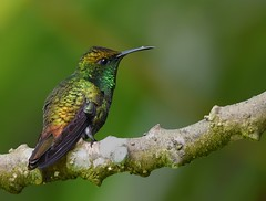 Coppery-headed Emerald - male (anacm.silva) Tags: copperyheadedemerald hummingbird ave bird wild wildlife nature natureza naturaleza birds aves cataratadeltoro costarica colibri elviracupreiceps coth5