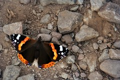 Canon EOS 60D - Red Admiral Butterfly (Gareth Wonfor (TempusVolat)) Tags: picmonkey garethwonfor tempusvolat mrmorodo gareth wonfor tempus volat butterfly redadmiral insect wings macro closeup canon eos 60d dslr kit lens kitlens