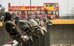Im Regen (Ulmi81) Tags: pigeon pigeons sitting rain wet raining drops focus birds bus tourist tourism handrail