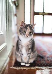 Biscuit the cat (Colin Robison) Tags: cat feline cats insta ig instagram catlovers dof sigma 35mm 14 samyang rokinon sony a7 a7r a7r3 a7s a7riii nikon nikkor kitty kitties sc south sourthern color colors backlit lighting lights