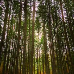 Morning Forest (ahockley) Tags: backlit castlerock forest green seaqueststatepark shotoniphone shotoniphone6 sunlight trees washington