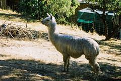 Alpaca (Chad Mauger) Tags: 135 35mm rad2019january20 alpaca animal australia canonrebelg film filmphotography hiking kodak kodakproimage100 rollinaday southaustralia au