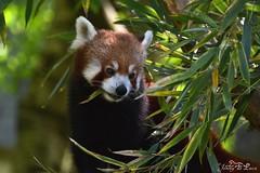 Panda roux - Ailurus fulgens (jenny' pix) Tags: zoo animaux animals ailurus fulgens panda roux red