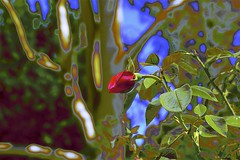 Abstract and Rose Bud (maginoz1) Tags: flowers pink red abstract foliage art contemporary manipulation curves summer february 2019 lastofsummer bulla melbourne victoria australia canon g3x