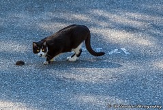 Cat and Mouse (R. Sawdon Photography) Tags: rsawdonphotography russsawdon parkinglot yelloweyes black cat chase drama grey hunter mouse mouser pavement paws prey white
