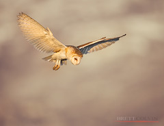 Barn Owl Scanning for Prey (Fly to Water) Tags: barn owl tyto alba flight flying wings outdoors wild wildlife professional nature photography utah nikon d850 600mm f4 fl bird avian bokeh