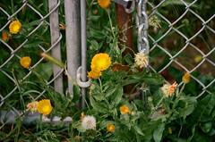 Santa Clara, California (bior) Tags: minoltaxd5 kodakproimage proimage house santaclara california fence flower chainlinkfence heynow yourearockstar getyourgameon goplay gettheshowon allthatglittersisgold onlyshootingstarsbreakthemold