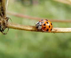 Harmonia axyridis (rockwolf) Tags: harmoniaaxyridis ladybird harlequin coccinellidae coleoptera beetle insect coccinelleasiatique shropshire rockwolf