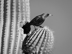i am the bird. a small winged beast. i am the bird. (Ross Dinsdale) Tags: riparianpreserve gilbertriparianpreserve commonstarling sturnidae monochrome 1dsmarkii canon canon1dsmarkii gilbertwaterranch starling arizona saguaro europeanstarling passerinebird gilbert
