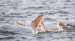 American White Pelican (karenmelody) Tags: americanwhitepelican animal animals bird birds pelecaniformes pelecanuserythrorhynchos pelicanidae southtexas texas usa vertebrate vertebrates portaransasboardwalk portaransas unitedstatesofamerica us