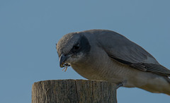 Black faced Cuckoo Shrike (m&em2009) Tags: black face cuckoo shrike bird feather sky blue stump insect wasp lunch