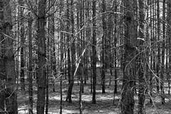 Baumstammversammlung (Sockenhummel) Tags: flickrausflug spandau fuji x30 fujifilm finepix fujix30 blackwhite mono uni einfarbig wald herbst autumn fall november sw bw schwarzweis forest wood bäume see natur nature