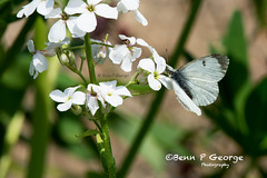 SMALL-WHITE-BUTTERFLY-27-5-18-RSPB-STRUMPSHAW-FEN (Benn P George Photography) Tags: rspbstrumpshawfen 27518 bennpgeorgephotography rspb waspbeetle scarcechacer dragonfly chacer coot azure damselfly orangetip butterfly peacock smallwhite nature wildlife norfolk broads nikond7100 nikon200500