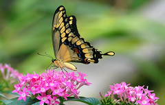 My 1st Eastern Giant Swallowtail (Kaptured by Kala) Tags: papiliocresphontes easterngiantswallowtail largebutterfly newspeciesforme closeup outsidemywindow butterfly insect bug pollinator pollinators pollinate feeding eating nectar tongue butterflytongue flowers pinkflower pentas pinkpentas containerplant pentassp wingsclosed