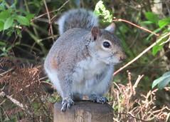 Grey Squirrel (Stuart Axe) Tags: burystedmunds abbeygardens squirrel greysquirrel wildlife animal creature creatures uk suffolk gb greatbritain unitedkingdom mammal