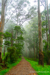 Misty Sherbrooke Forest, Dandenong Ranges, Victoria (Peter.Stokes) Tags: photography sky trees treetrunk winter vacations outdoors native nature australian australia colourphotography countryside flora forest landscape green landscapes misty sherbrookeforest dandenongranges victoria tree