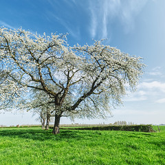 Hesbanian Spring (enneafive) Tags: hesabnia blossoms paradise trees sky grass green white flowers blue fujifilm xt2 affinityphoto clouds light orchard pastoral bucolic