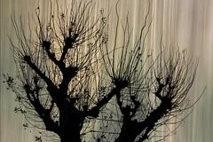 Winter is black... but spring is waiting behind (marisabosqued) Tags: superposición superposition árbol tree movimientointencionadodelacámara intencionalmovementofcamera icm invierno winter snapseed