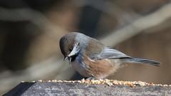 Hey - where are the peanuts - Boreal Chickadee (Sandra_Gilchrist) Tags: sandragilchrist borealchickadee darlingtonprovincialpark provincialpark bird avian chickadee boreal