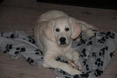 Glenn 16 weeks (corinna1411) Tags: pets haustier dog dogs hund hunde goldenretriever golden goldenretrievers welpe puppy weis white nikon nikond300 tamron porträt portrait sherlysgoldenglenn macro makro