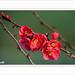 Chaenomeles japonica_Cognacier du japon
