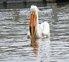 Pelican With Dinner (garywitte845) Tags: americanwhitepelican whitepelican pelican bird waterbird pelicanspelecanidae pelecanuserythrorbynchos nature animal water feeding fish blackhawklake lakeview iowa saccounty