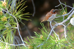 Scaly-breasted Munia (linda m bell) Tags: bonelliregionalpark sandimas california 2019 bonellipark socal bird birdwatching scalybreastedmunia