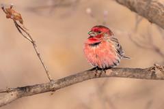 House finch male (Lynn Tweedie) Tags: wood beak tail wing canon ngc animal male 7dmarkii missouri bird housefinch tree sigma150600mmf563dgoshsm eos feathers eye branch