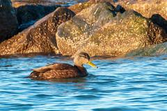 American Black Duck - Anas rubripes (mattbpics) Tags: duck waterfowl americanblackduck anasrubripes canon 70d tamron 150600 150600mm longbeach stratford