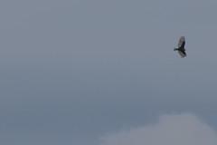 IMG_4427 (armadil) Tags: prairie ranchocorraldetierra bird birds vulture turkeyvulture flying