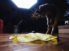 Sandy (Zack Huggins) Tags: olympusomdem5markii olympusmzuikoed12mmf2 vscofilm pack01 godoxad400prowistro beautydish cat catto kitty kitten kitter catstudio play cattoy pounce purr meow kittystudio livingroom christmaseve home homestead homefortheholidays jump wideangle bokeh dof strobe monolight catsmeow