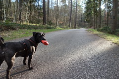 K-9 Elli (Bock Survival Scout) Tags: k9 hund dog outdoor tour natur terrier jagd sport survival prepper weg strasse kiefer wald asphalt fichte forst