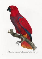 Eclectus parrot vintage poster