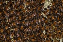 Wild Honeybees (betadecay2000) Tags: wild honeybees bicentennial park darwin northern territory australia australien honigbienen honigbiene biene bees bee insekten insects insect insekt tier animaux animal animals tiere kleintier fluginsekten natur nature austral ozeanien australie imker waben staat wildlife life makro lebensmittel