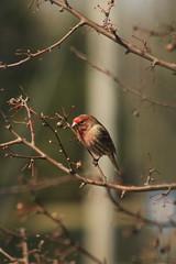 Bird (historygradguy (jobhunting)) Tags: easton ny newyork upstate washingtoncounty bird animal branch