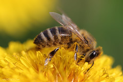 Pollen (malioli) Tags: bee insect details fly flower closeup macro canon nature