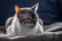 Kira-1 (jsvachon) Tags: animal animals animaux brun cat cats chat chats feline félin kira pet pets beige brown