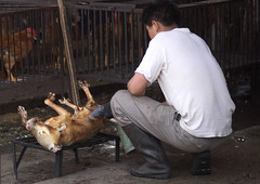 Killed Dog Being Sold On Market, Lijiang, Yunnan Province, China (Eric Lafforgue) Tags: a7588 adultsonly animal asia business china colorpicture deadanimal dog foodanddrink holding horizontal market oneanimal onepeople oneperson preparation realpeople retail roasted selling sitting unrecognizableperson yunnan yunnanprovince lijiang