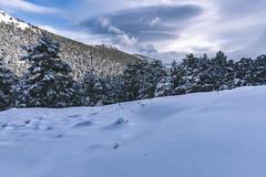 Nieves de primavera (pinusylvestris) Tags: naturaleza snow nieve spring pradera d7500 nikon sigma 1770 contemporary sunset