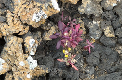 Ein Greiskraut (Senecio sp.) (fotoculus) Tags: flora senecio spanien españa canarias canaryislands kanarischeinseln lanzarote greiskraut