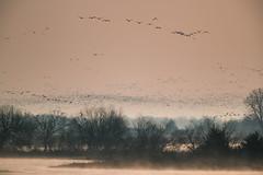 Swarm of Cranes (jeff_a_goldberg) Tags: platteriver spring gruscanadensis sunrise kearney wildlife crane bird fortkearnystaterecreationarea bif centralplatterivervalley sandhillcrane birdinflight nebraska nature gibbon unitedstatesofamerica us