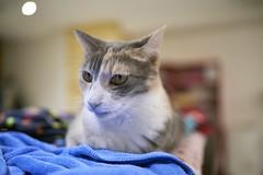 A7R3__DSC2793_C1 (Bazoka+Cynthia) Tags: pupu 小婆 新北市 樹林區 貓 cat