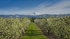 Hood River Orchard Mt Adams 7658 A (jim.choate59) Tags: jchoate on1pics mountadams orchard trees spring field mountain landscape oregon scenic hoodriveroregon fruitvalley