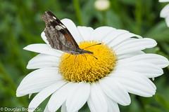 Snout Butterfly on Daisy (dglsbrwnsr) Tags: snoutbutterfly butterfly daisyflower insect missouri pollinate pollinator snout
