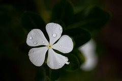 Detailed (Rushay) Tags: flower raindrops detail leaf nature backgrounds white portelizabeth southafrica