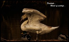 Mute Swan signet .      try z/o view . (Diddley Bo) Tags:
